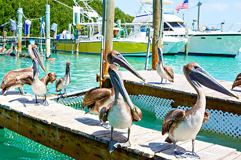 This is a stock photo. Pelicans on a dock in Key West, Florida.